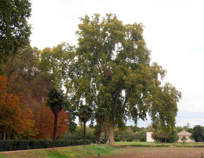 Aranjuez audio guide - The Plane Tree of the Infante's Garden