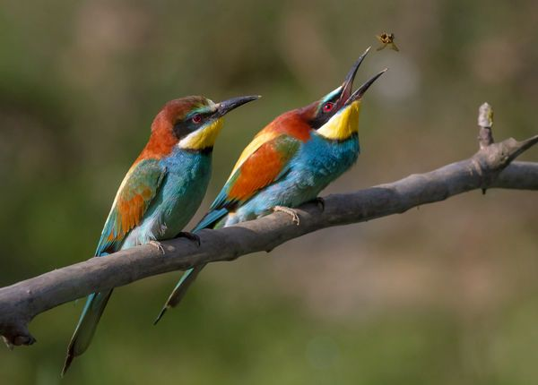Bee-Eaters - Cabañeros audio guide