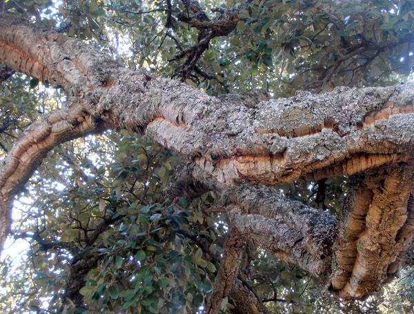 cork oak - Cabañeros audio guide
