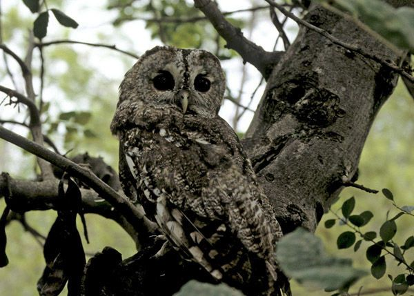 Tawny Owl - Cabañeros audio guide
