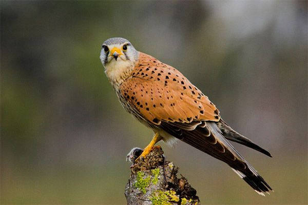 Common Kestrel - Cabañeros audio guide