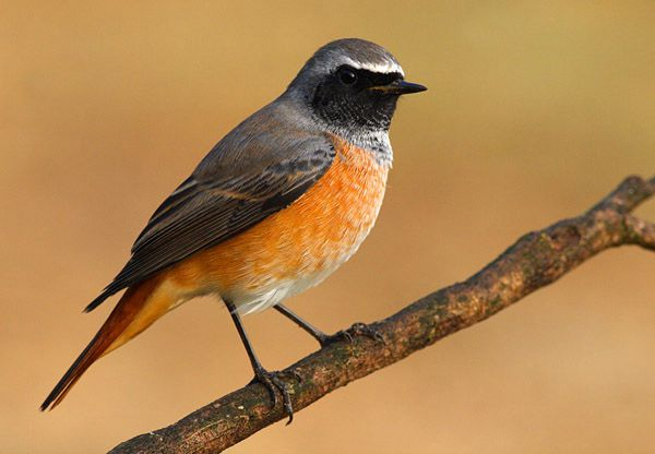 Black Redstart - Cabañeros audio guide